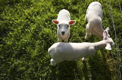 Come cucinare il collo dell'agnello