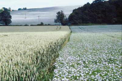 Quali sono i vantaggi di ammollo i semi di lino terra?