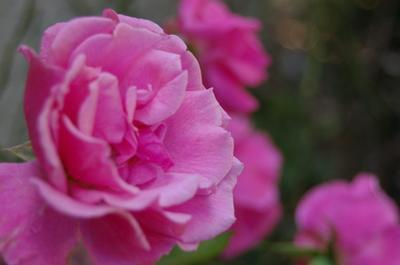 Quali sono i benefici dell'olio essenziale di rosa?