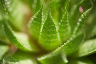 Rischi per la salute & benefici dell'assunzione di succo di Aloe Vera internamente