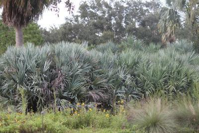 Saw Palmetto & estrogeno