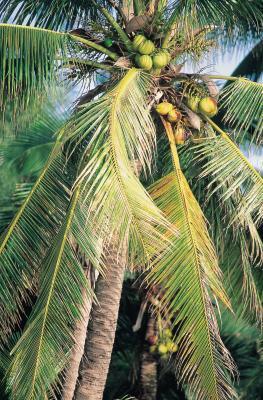 Quali sono i vantaggi di noce di cocco giovane carne?