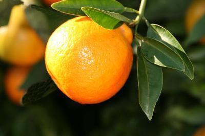 Quali sono i vantaggi di mangiare arance o Tangelos?