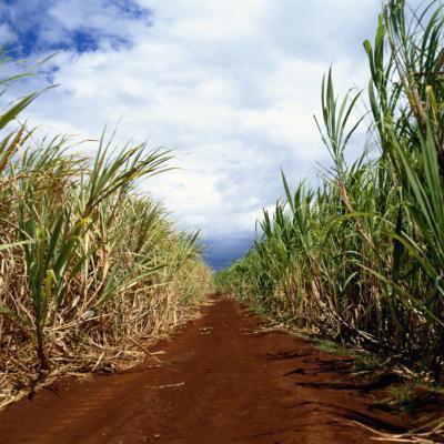 Zucchero bianco vs succo bio canna evaporata