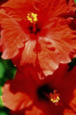 Tè di ibisco può essere fatta da qualsiasi piante di Hibiscus?