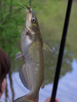 Le migliori canne da pesca per la cattura di pesce gatto
