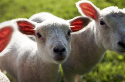 Come cucinare un arrosto di agnello con un forno a microonde