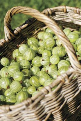 Benefici per la salute di uva spina cotto polpa