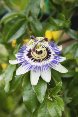 Effetti negativi della Passiflora