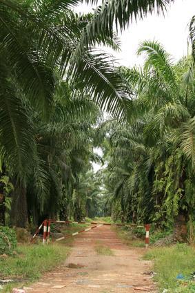 Effetti sulla salute dell'olio di Palma nella dieta