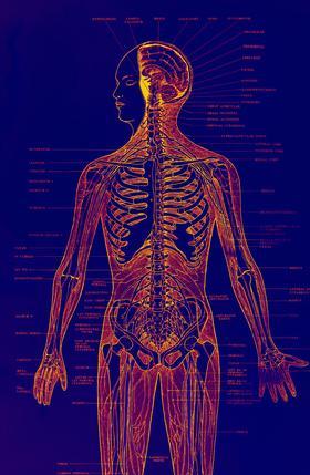 Qual è il rapporto tra metabolismo & funzione cardiovascolare?