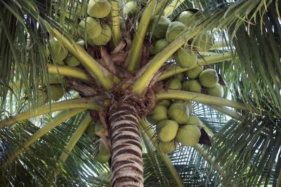 Quali sono i benefici dell'acqua di cocco verde?