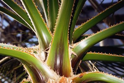 Quali sono i benefici dell'olio di Aloe Vera?