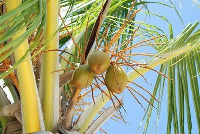 Olio di cocco & fungo del chiodo