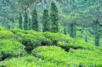 Tea Tree Oil per stafilococco